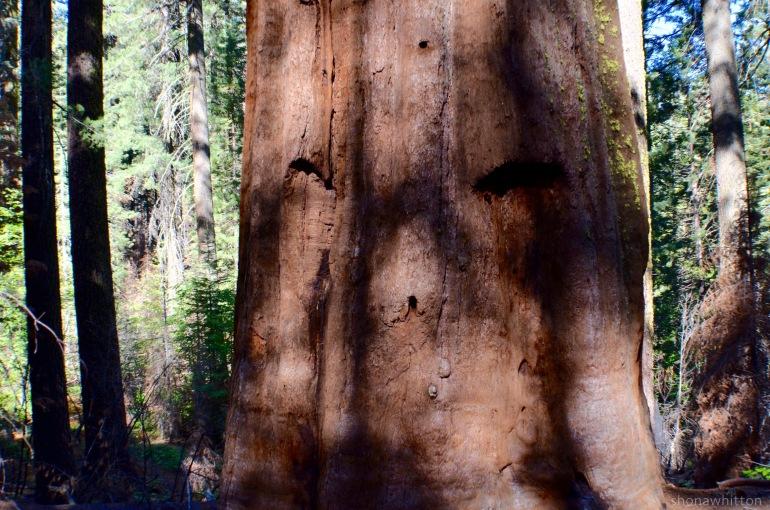 A giant sequoia. Reeeeally royally big trees.