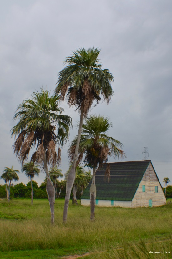 Tobacco drying house and some royal palms. On the road to Vinales.